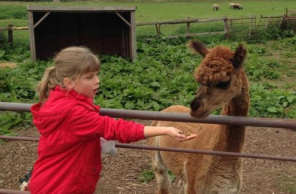 Feeding Amy the Alpaca